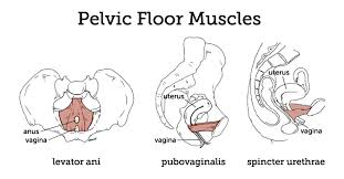 Pelvic Floor/Perineum | PELV-ICE LLC